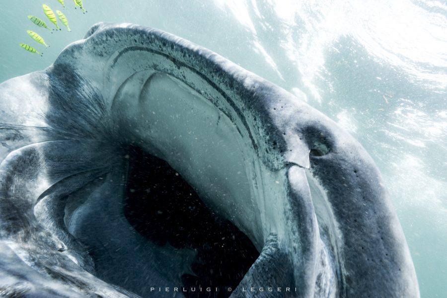 Mafia island: gli squali balena del regno di smeraldo