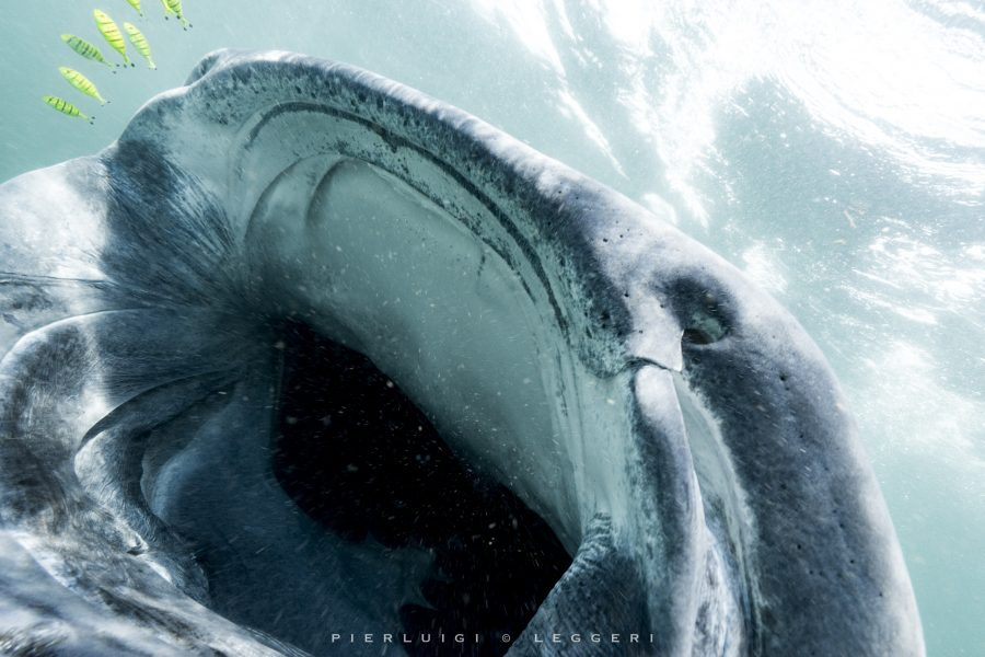 Mafia Island: the whale sharks of the emerald kingdom  Copia